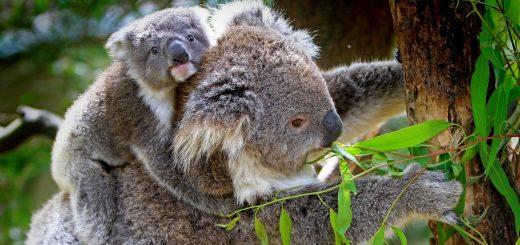 Ein Koala mit einem Jungtier auf dem Rücken