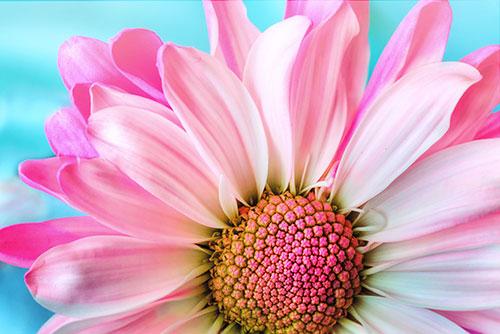 Foto: Close-Up einer rosa Margerite auf blauem Hintergund