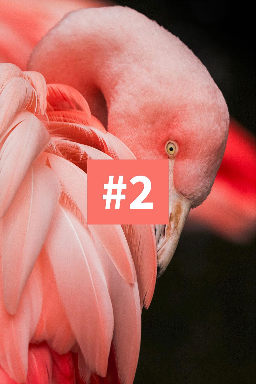 Foto: Ein rosa Flamingo, der seinen Kopf teilweise unter dem Flügel versteckt.